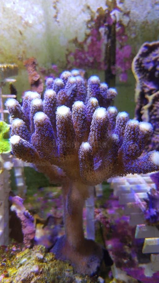 Stylophora-pistillata, alias milchige Stylophora Überziehschutzanlagen-Koralle stockfotografie