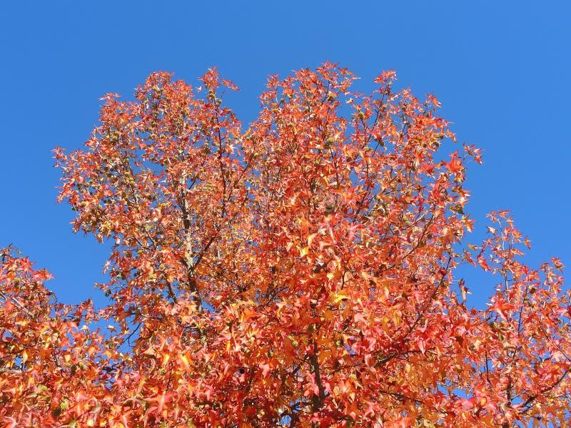 Styraciflua del liquidámbar, comúnmente llamado sweetgum american, en temporada de otoño con su rojo, naranja y hojas del amarill foto de archivo libre de regalías