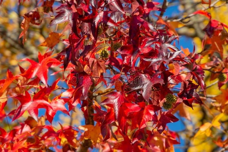Styraciflua do Liquidambar ou folhas vermelhas do outono ambarino da árvore Um close-up da folha no foco contra um fundo das folh imagens de stock royalty free