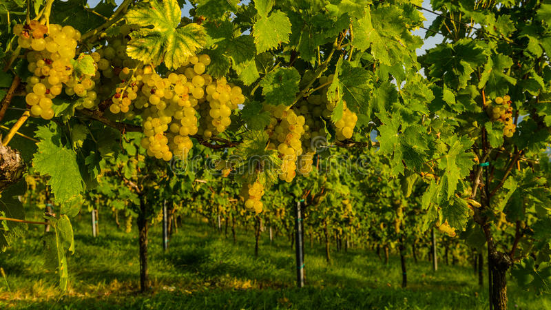 Styria. Vineyards with winery in autumn - White wine grapes before harvest, Southern Styria Austria stock images