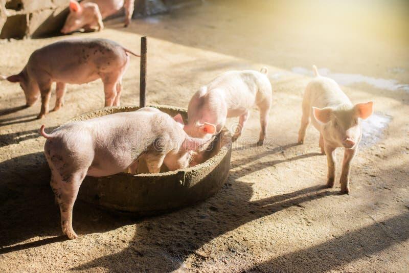 Suínos na exploração agrícola Indústria da carne Porco que cultiva para encontrar o aumento da procura para a carne em Tailândia  fotografia de stock royalty free