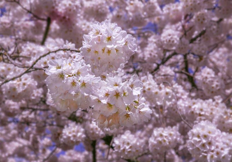 Su Cherry Blossoms vicino fotografia stock libera da diritti