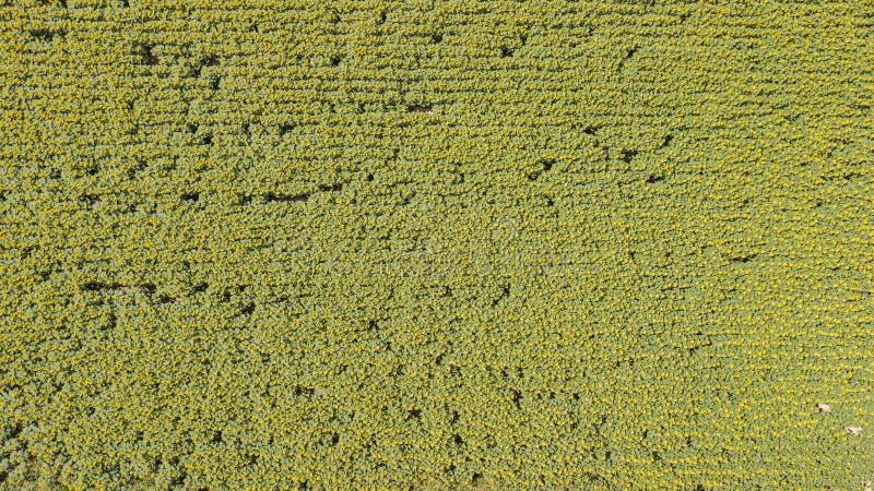 Su e giù paesaggio dei girasoli gialli Paesaggio rurale meraviglioso del giacimento del girasole nel giorno soleggiato Vista aere fotografie stock