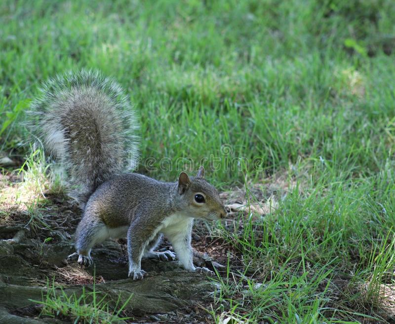 Su-fine ancora, scoiattolo posato fotografia stock libera da diritti