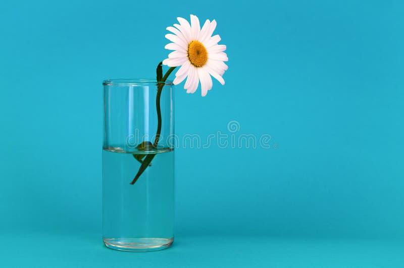 Su un fondo di colore dell'acquamarina un vetro con la camomilla, a destra c'è un posto per l'iscrizione fotografie stock libere da diritti