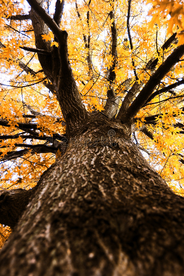 Su un grande albero di autunno fotografia stock libera da diritti
