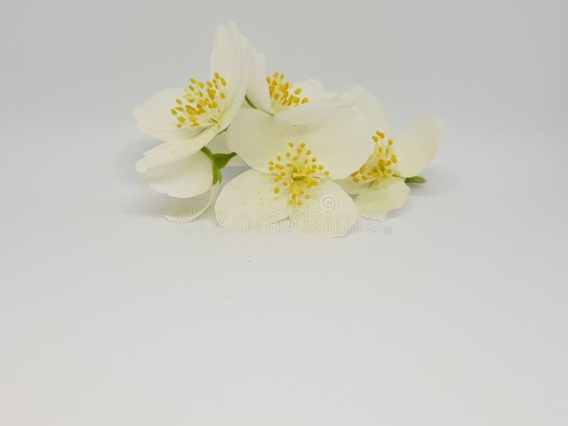Su un ramo dei fiori bianchi del gelsomino su un fondo bianco fotografie stock