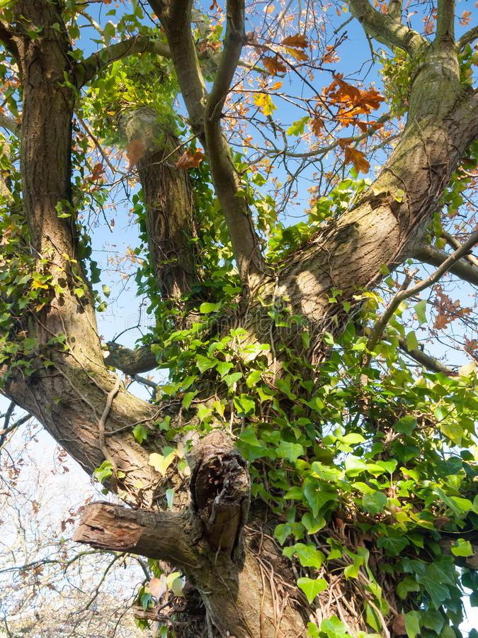 Su verde di fine l'avorio lascia mai la crescita sul tronco di albero immagini stock libere da diritti
