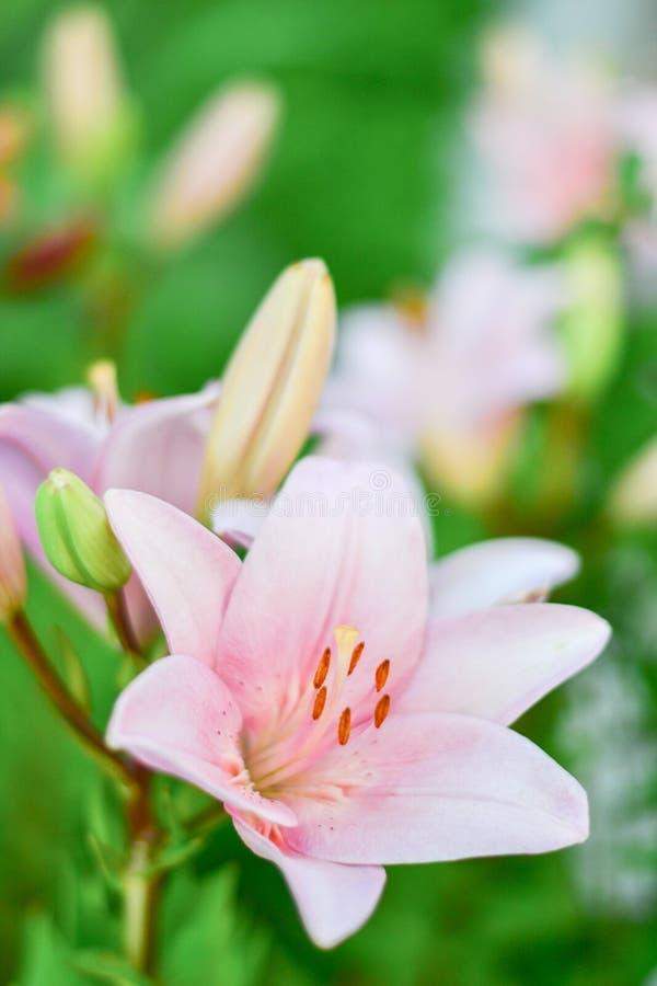 Suavemente lirio rosado hermoso contra un fondo de hojas verdes en el jardín imágenes de archivo libres de regalías
