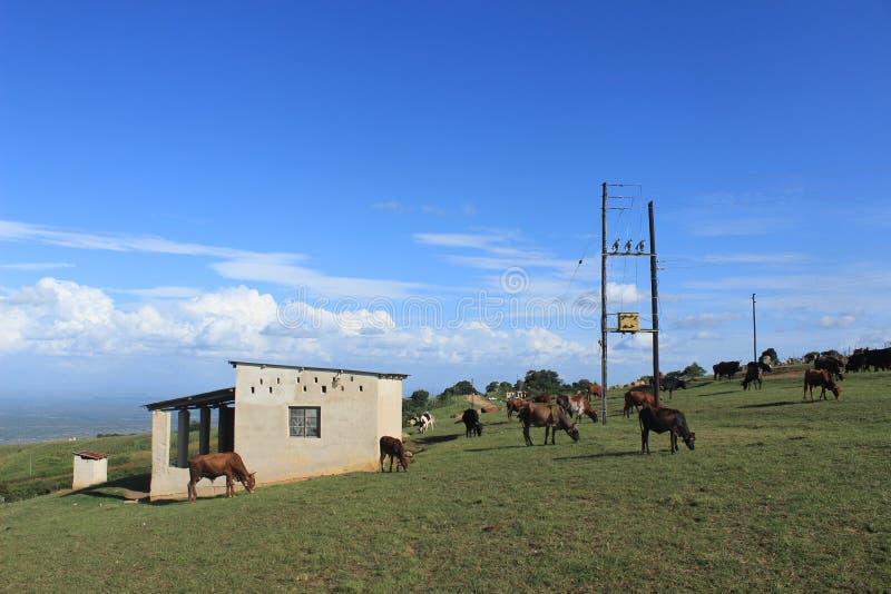 Suazilândia rural, vacas e fio bonde, África meridional, natureza africana fotografia de stock royalty free
