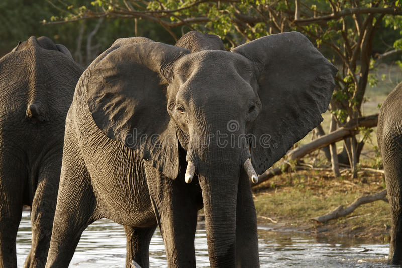 Sub-adult African Elephant stock photos