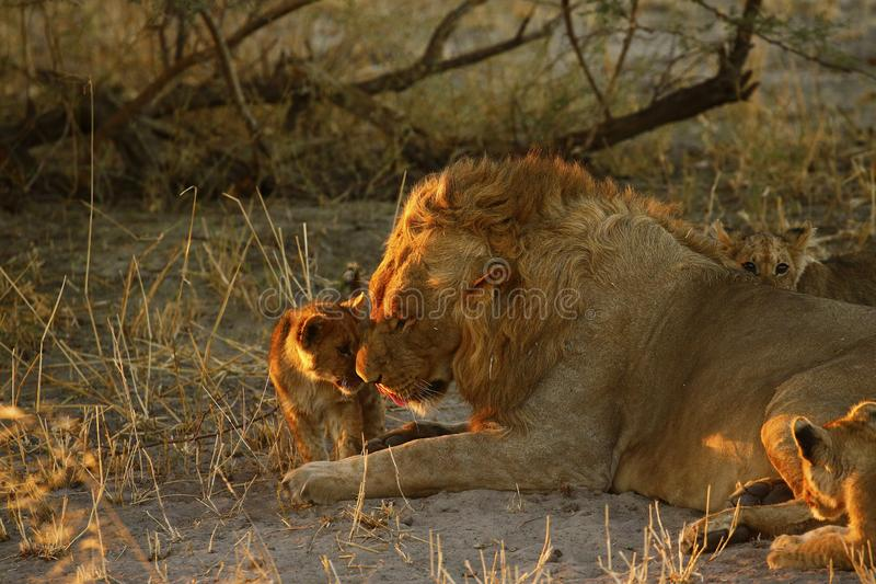 Lion Love with Big Brother stock photography