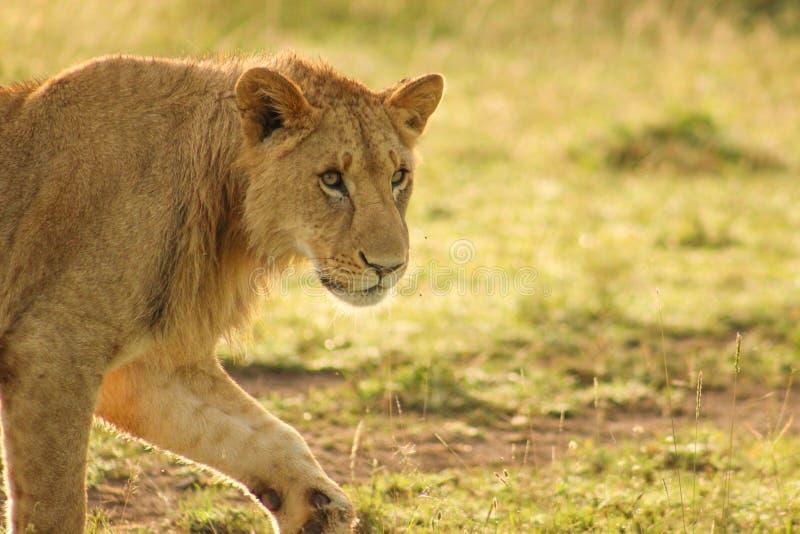 Sub-adulto Lion Walking masculino en la salida del sol imagenes de archivo