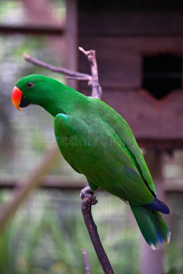 Sub-Saharan Afrikaanse Papegaai royalty-vrije stock foto's