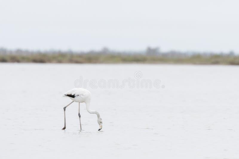 Subadult更加伟大的火鸟,Phoenicopterus roseus,过滤的水在Camargue,法国 库存照片
