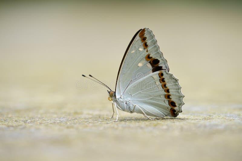 Subalba de papillon/Helcyra photo stock