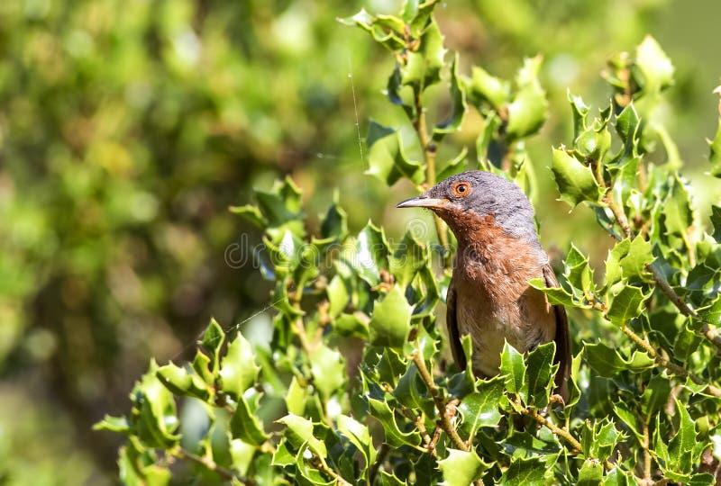 Subalpine певчая птица в Shrubbery стоковые изображения rf