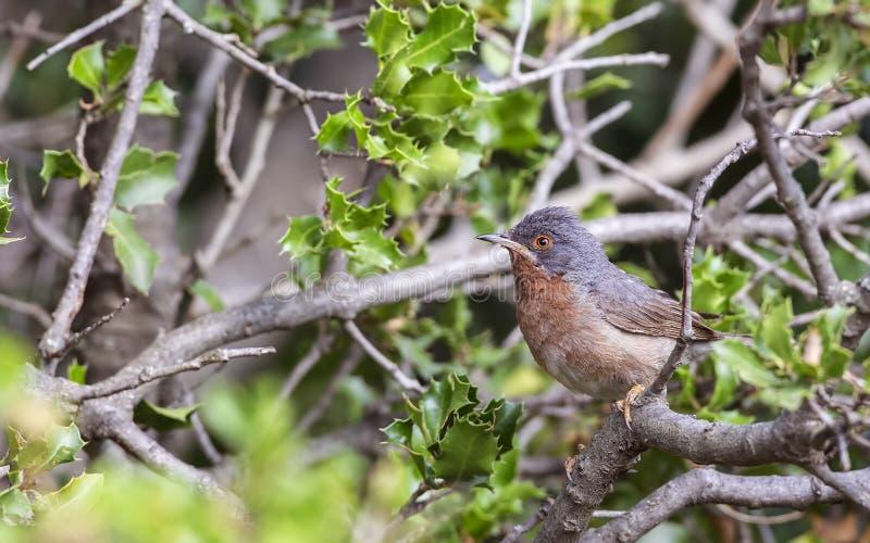 Subalpine певчая птица в Shrubbery стоковые фотографии rf
