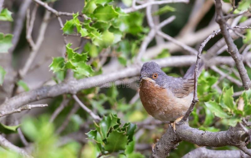 Subalpine певчая птица в Shrubbery стоковое изображение rf