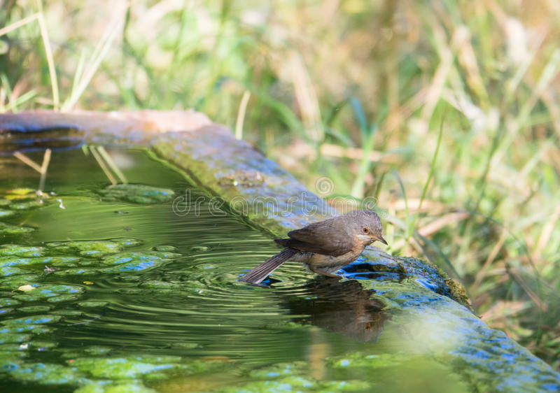Subalpine певчая птица на старом каменном бассейне стоковая фотография rf