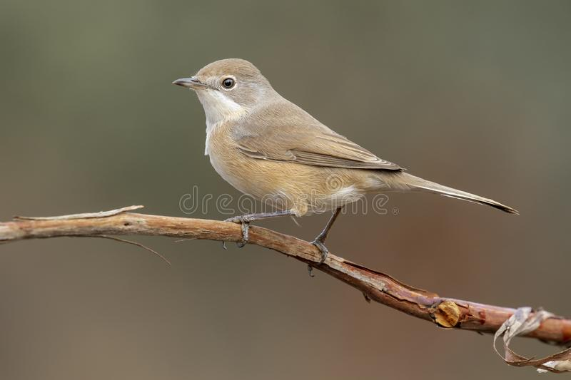 Subalpine warbler female. Sylvia Cantillans, on her hanger on a uniform background royalty free stock photos