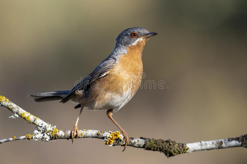 Subalpine warbler male. Sylvia cantillans, perched on the branch of a tree on a uniform background stock photo