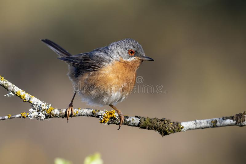 Subalpine warbler male. Sylvia cantillans, perched on the branch of a tree on a uniform background royalty free stock images