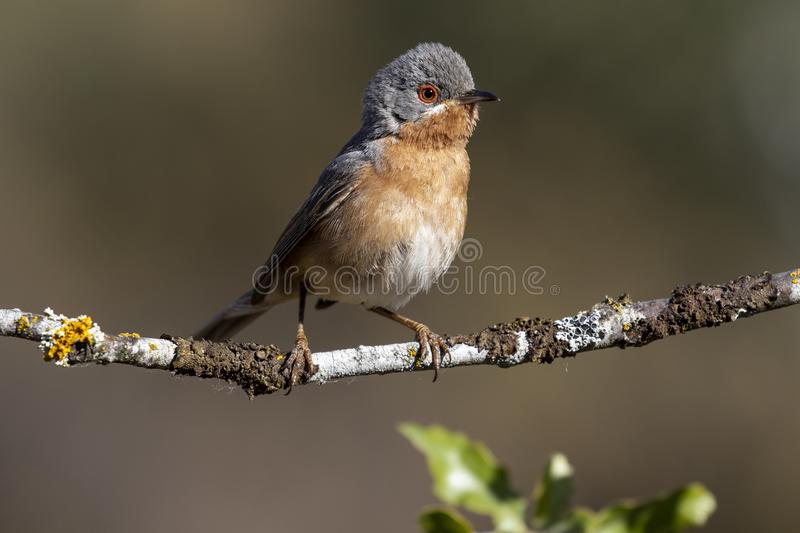 Subalpine warbler male. Sylvia cantillans, perched on the branch of a tree on a uniform background stock photography