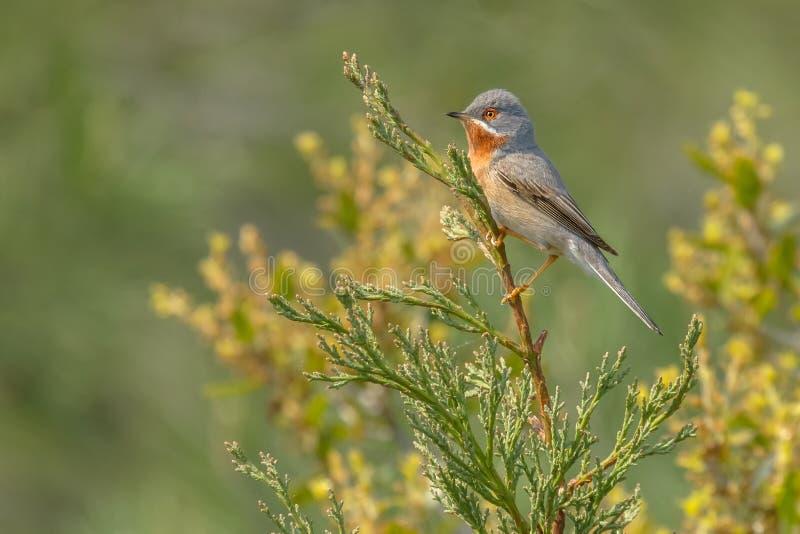 Subalpine warbler - Sylvia cantillans stock image
