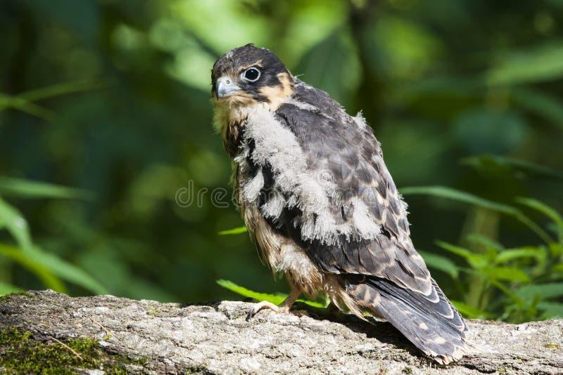 Subbuteo novo do falco do falcão do passatempo imagem de stock royalty free