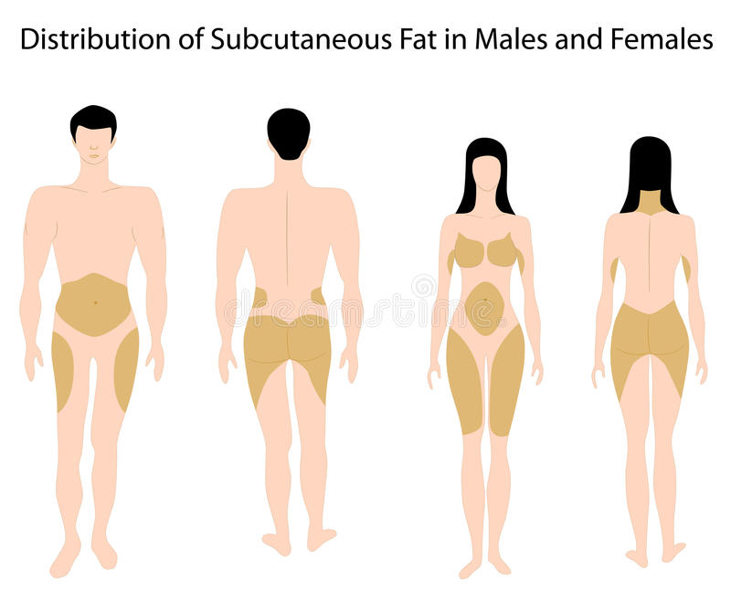 Subcutaneous Fat In Human Royalty Free Stock Image