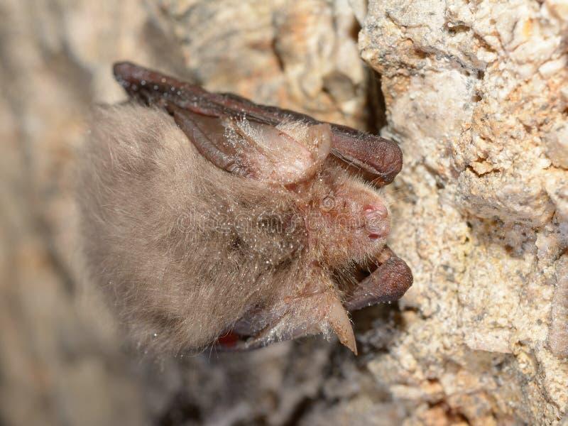 Subflavus del Pipistrellus del palo del pipistrelo del este fotografía de archivo