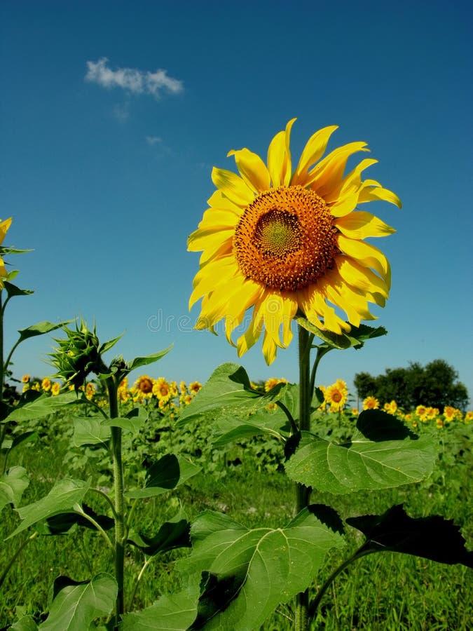 Subflower Στοκ εικόνα με δικαίωμα ελεύθερης χρήσης