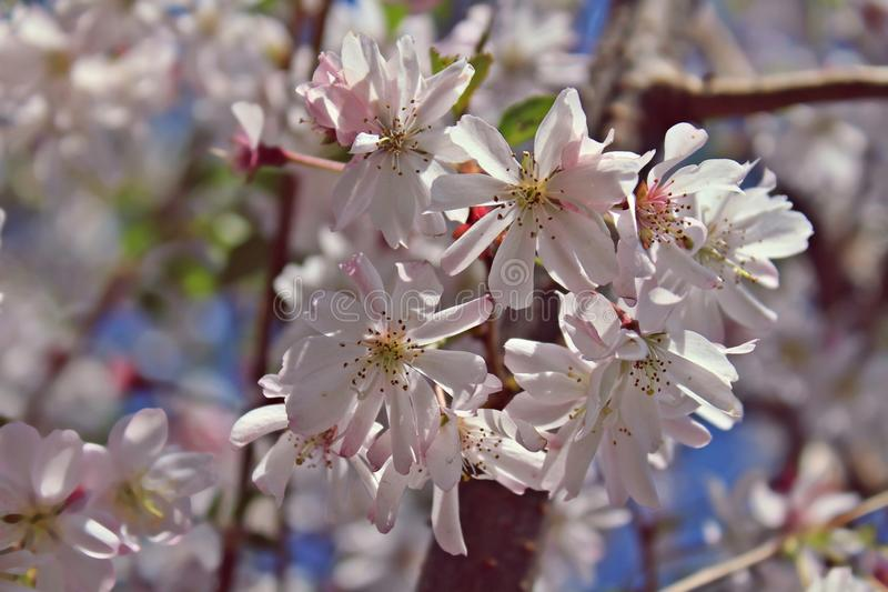 "Subhirtella ""rosea de Prunus d'Autumnalis "" photo stock"