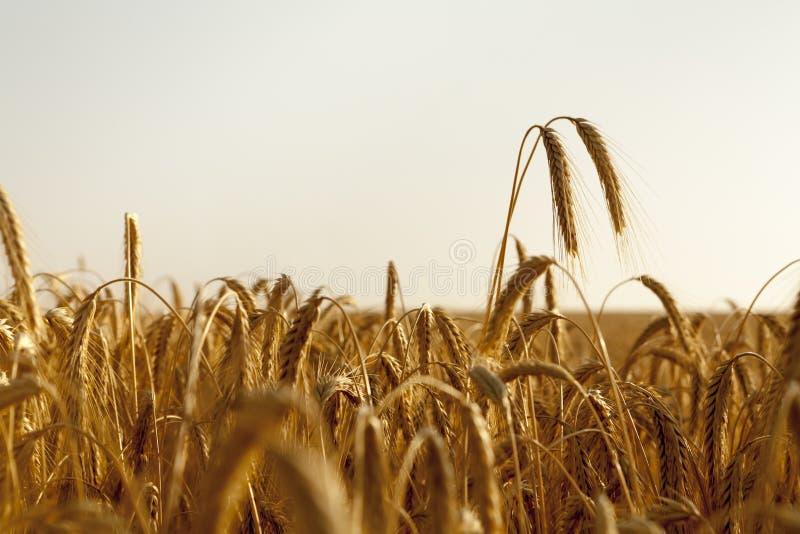 Subida de dos oídos del trigo alta sobre el campo foto de archivo libre de regalías