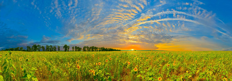 Download Subida de girasoles foto de archivo. Imagen de sunrise - 42440430