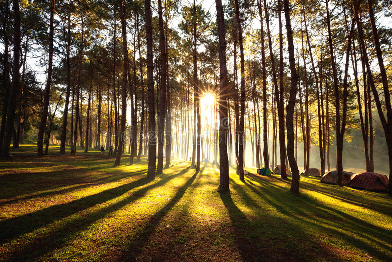 Subida de Sun en la punzada-ung, bosque del pino en Tailandia Lugar popular para la disposición la tienda, el acampar y el viaje imagen de archivo