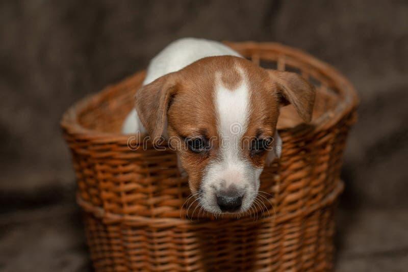 Subida del perrito de Jack Russell fuera de una cesta de mimbre fotos de archivo