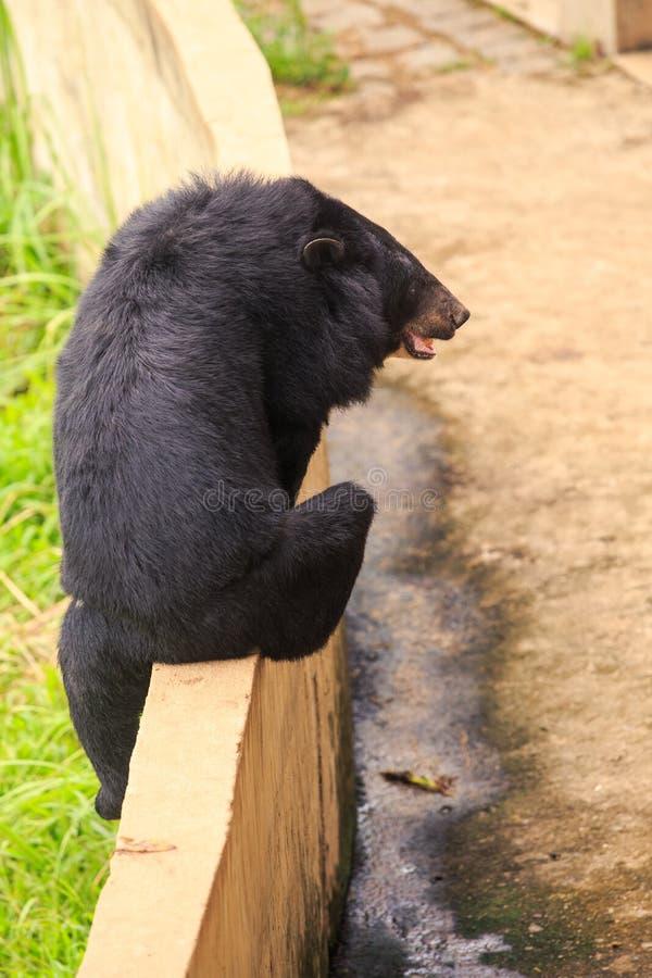 Subidas del oso negro de la parte trasera del primer sobre barrera en parque zoológico fotografía de archivo libre de regalías