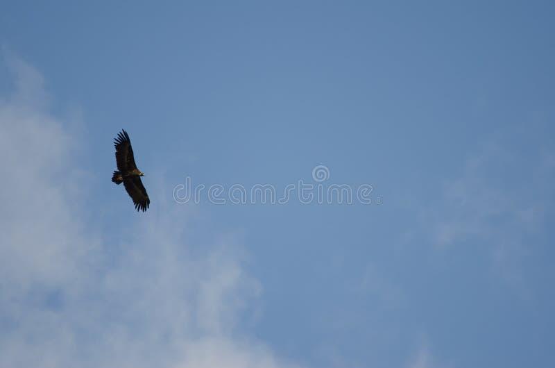 Subir Cinereous do monachus do Aegypius do abutre imagem de stock royalty free