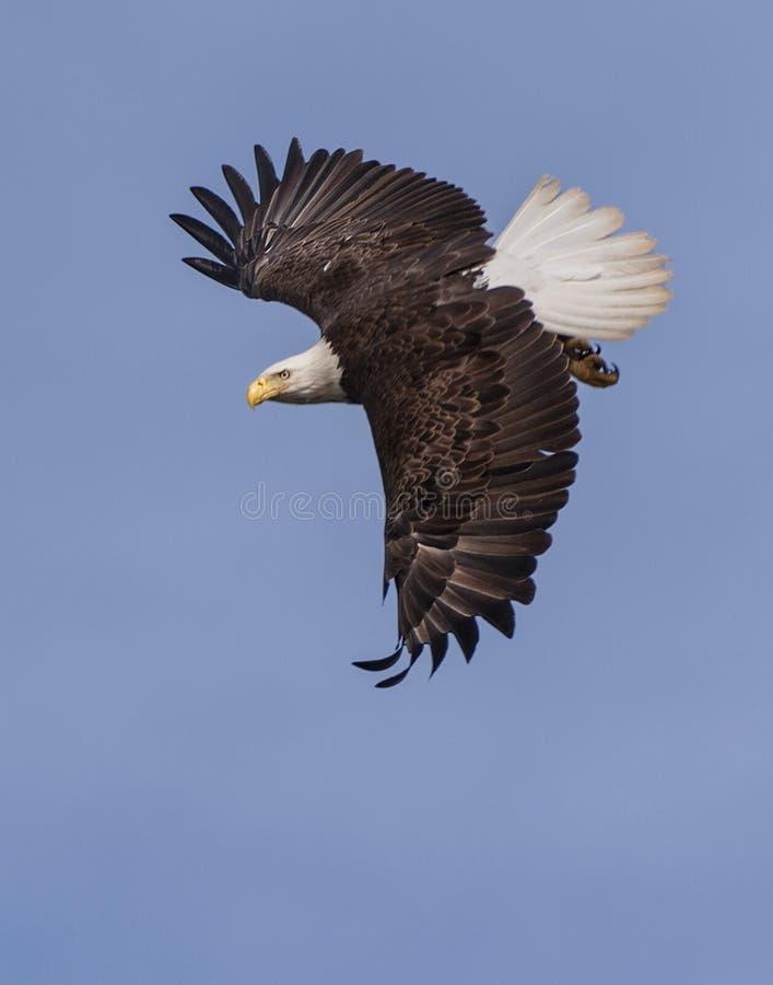 Subir da águia calva foto de stock royalty free