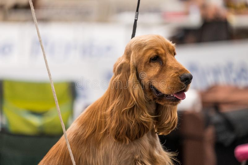 A subject of Red solid color English Cocker Spaniel on a leash during a dog show. The English Cocker Spaniel is a breed of gun dog stock images