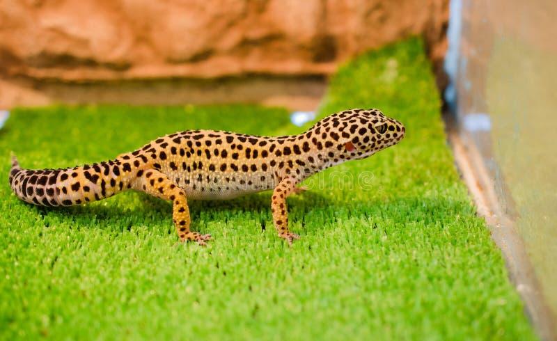 Subletaler Leopard Gecko sitzt auf grünem Gras in einem Geschäft für Haustiere in t stockfotografie
