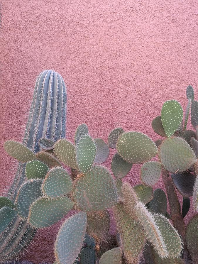 Free Sublime Cactus On Pink Wall, Marrakech Stock Images - 104398034