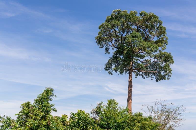 Sublimt träd royaltyfri bild