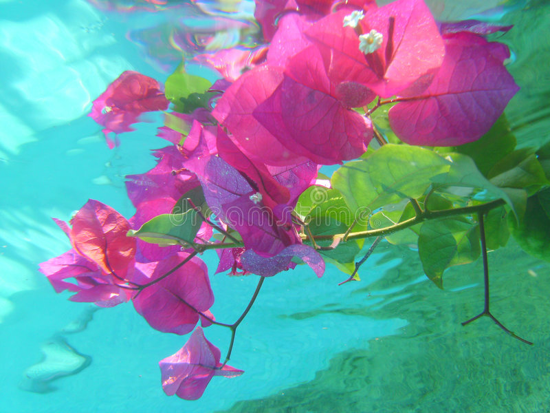 Submerged flowers. Bougainvillea Flowers submerged in blue clear water royalty free stock photography