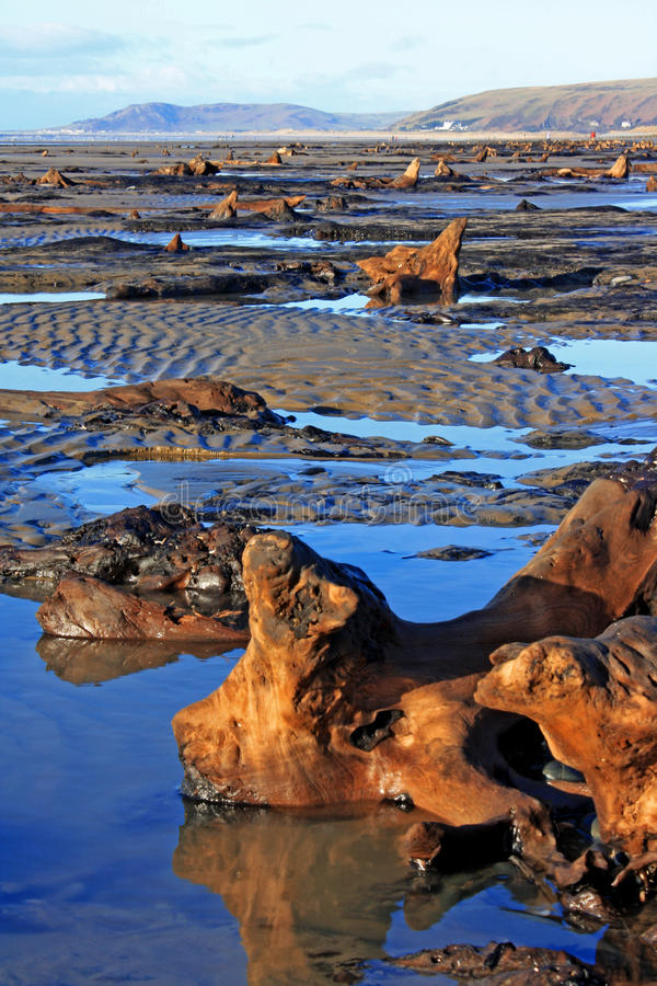 Submerged forest. A view of the submerged forest located on Borth Beach, Wales stock photos