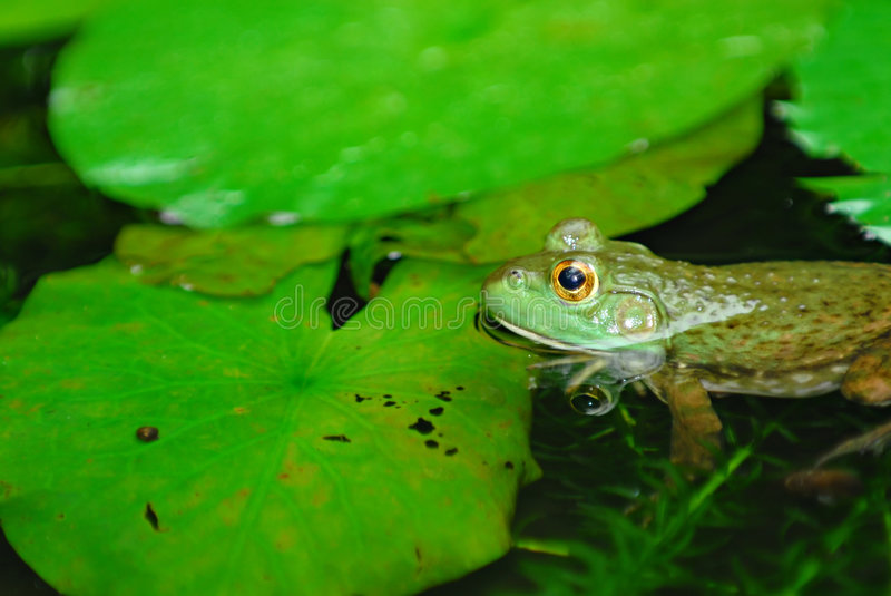 Submerged frog. A tropical frog submerged in a pond stock images