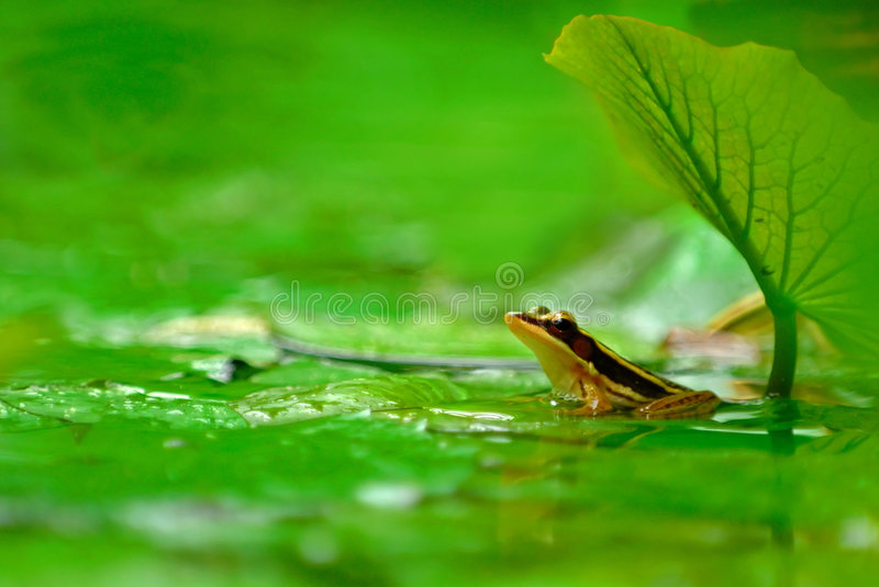 Submerged frog. A tropical frog submerged in a pond in landscape mode stock images