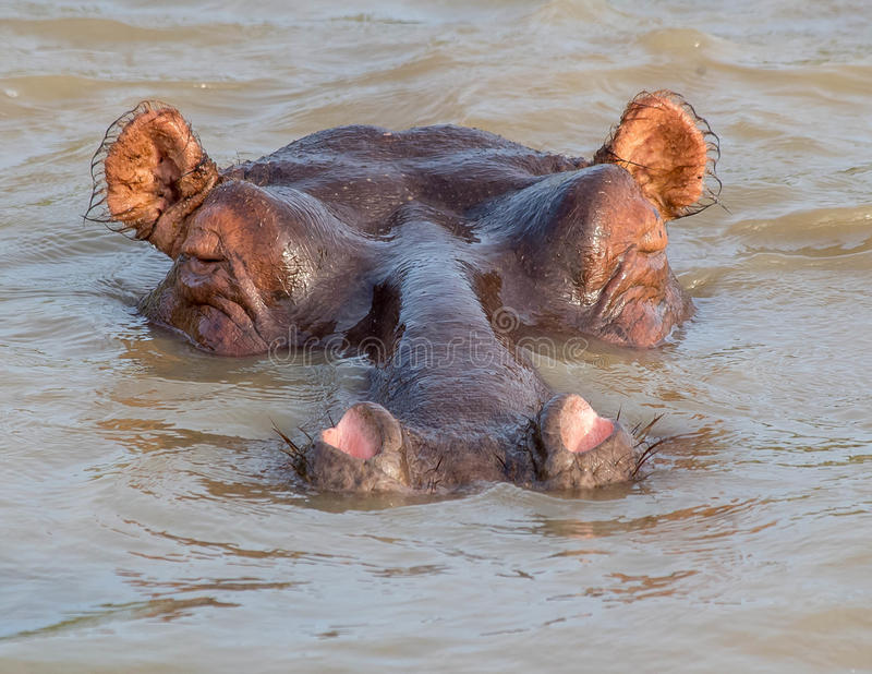 Submerged hippo submarine kruger park south africa. With eyes closed. nostrils close fury ears royalty free stock photography